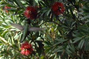 July_21hummingbird_tiny