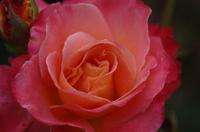 Pink_rose_3